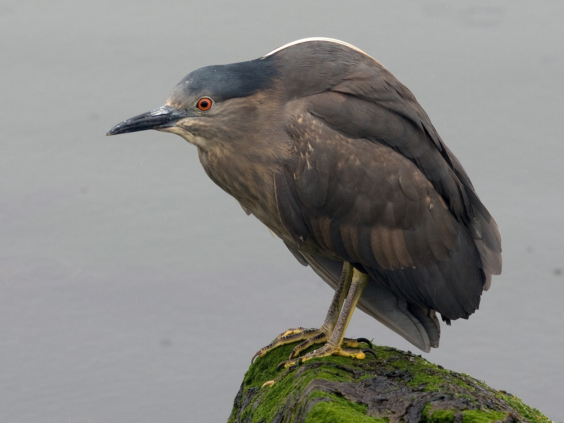 Black-crowned Night-Heron - Marbry Hopkins