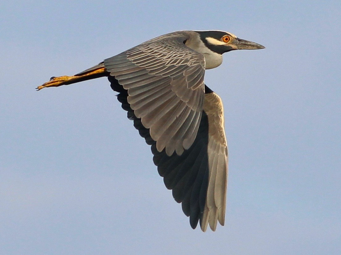 Yellow-crowned Night-Heron - Oscar  Johnson