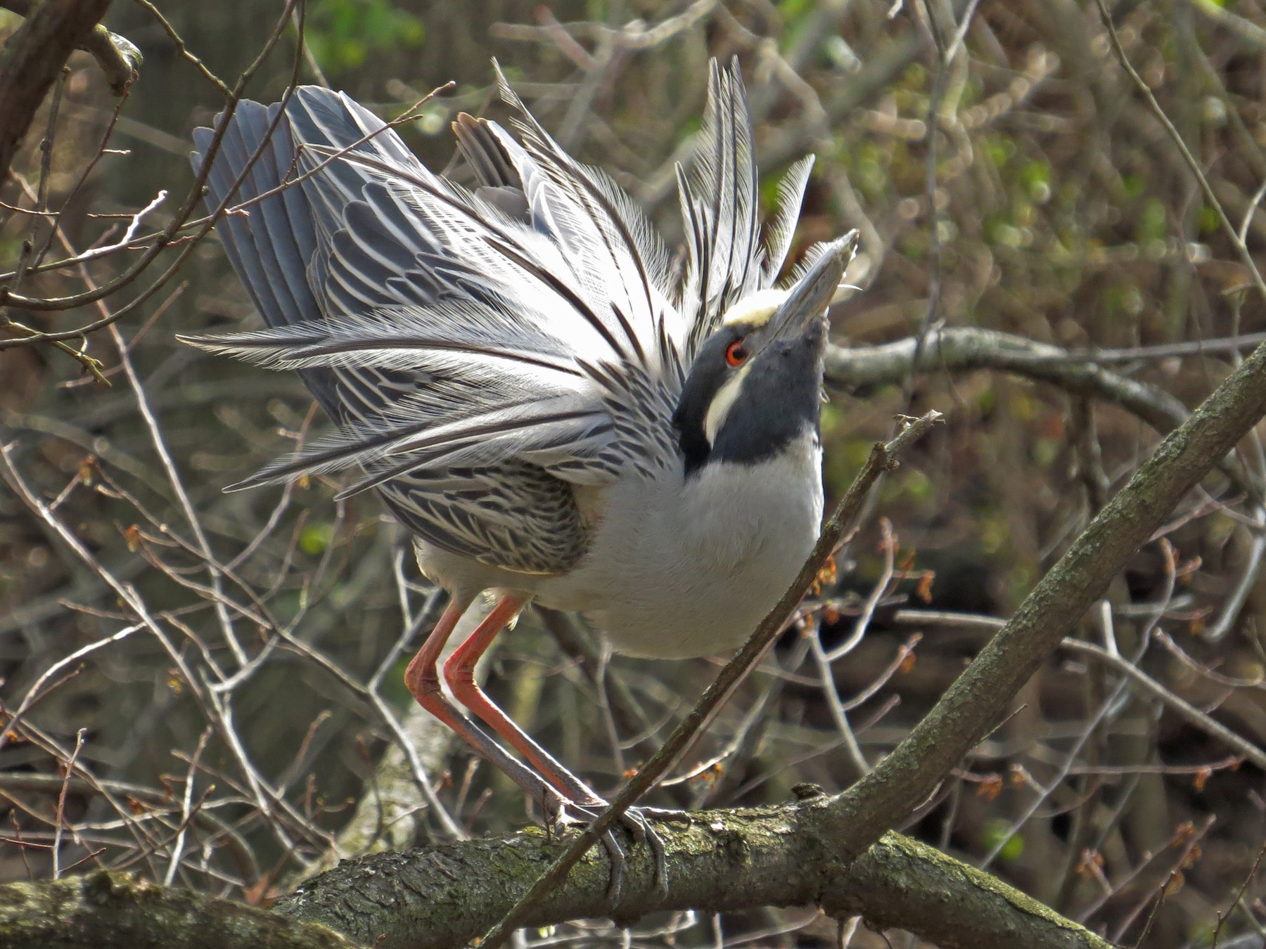 Yellow-crowned Night-Heron - Tim Carney