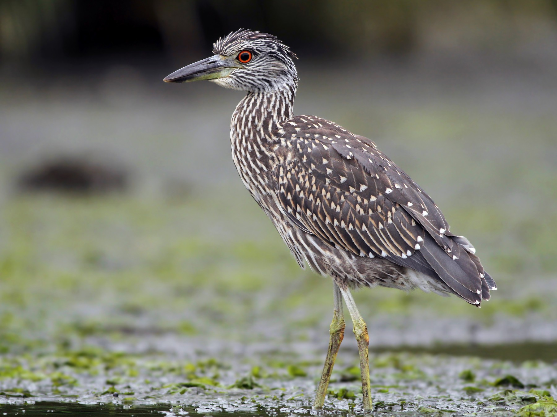 Yellow-crowned Night-Heron - Evan Lipton