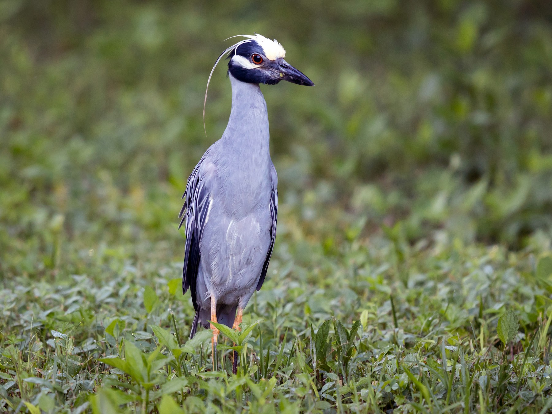 Yellow-crowned Night-Heron - Ryan Sanderson