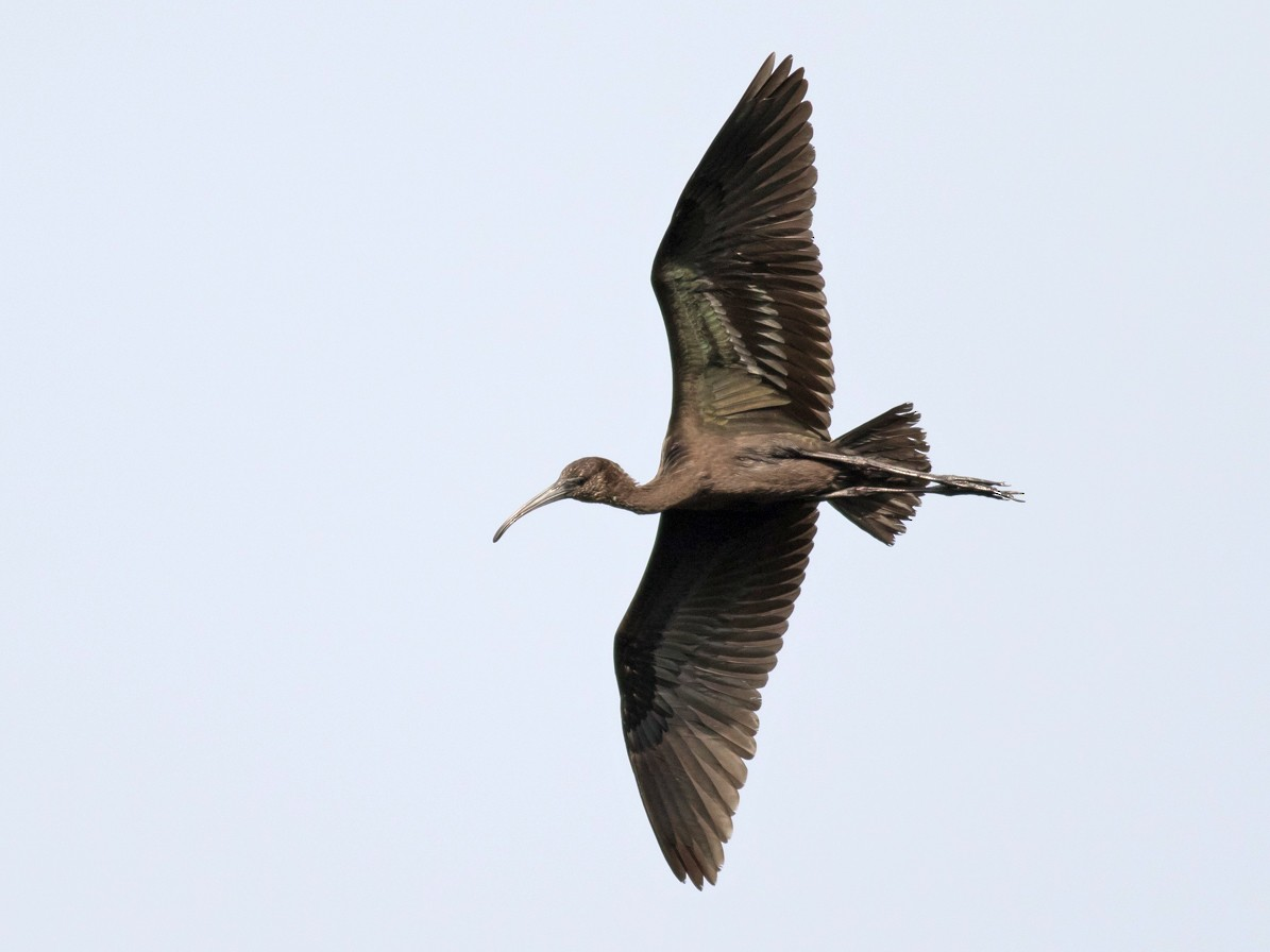 Glossy Ibis - Tom Johnson