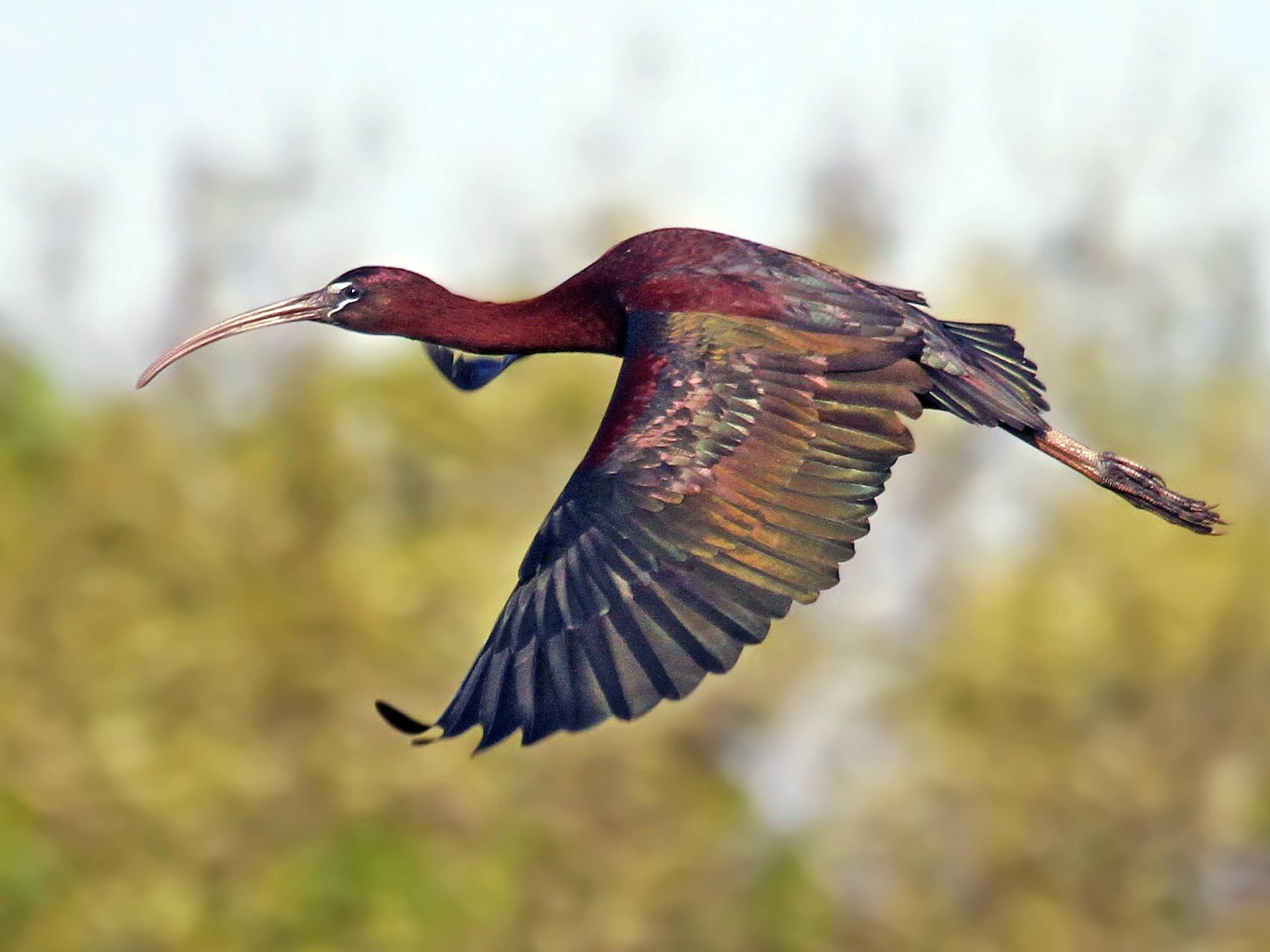 Glossy Ibis - Ryan Schain