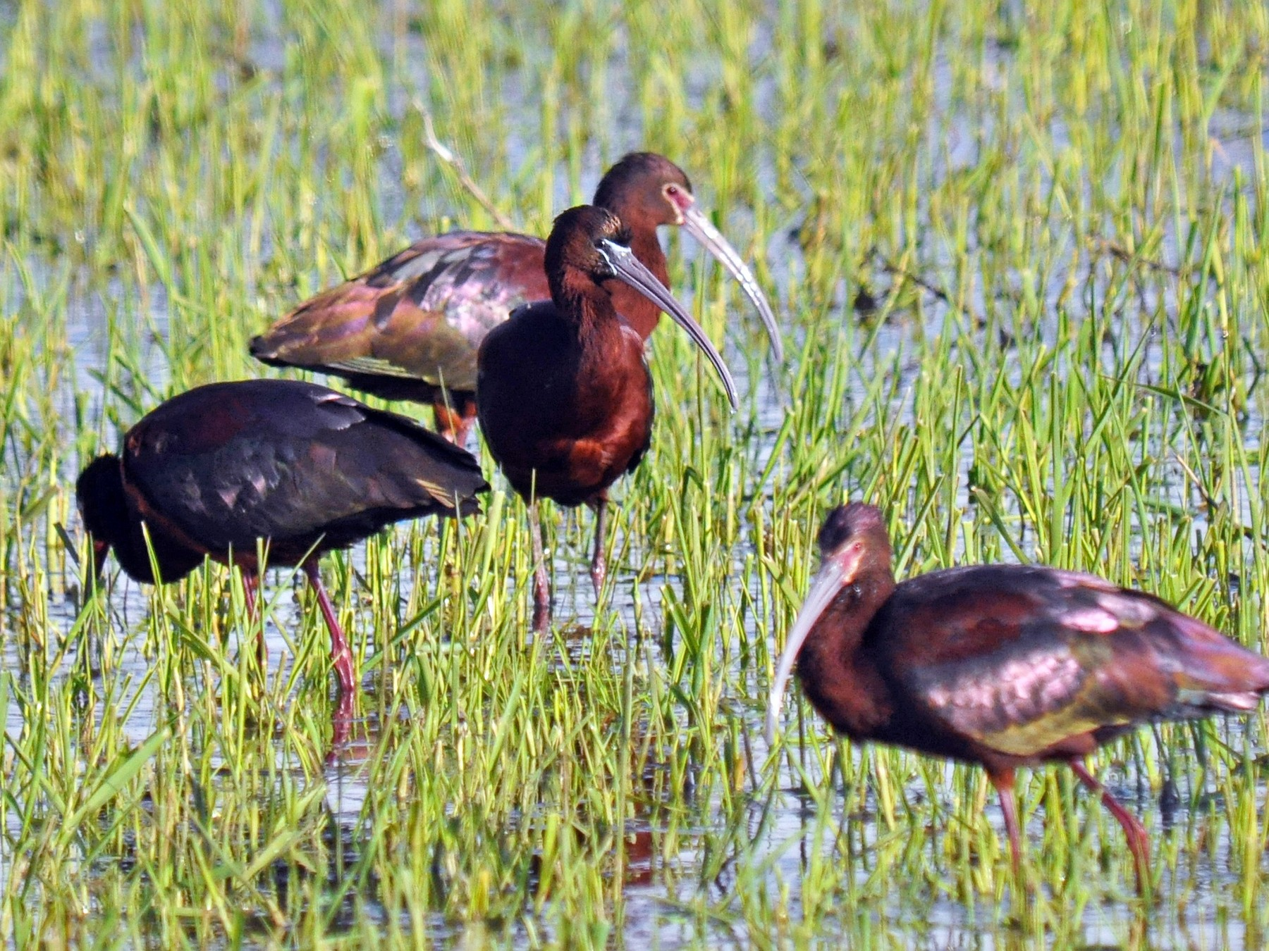 Glossy Ibis - Ryan O'Donnell