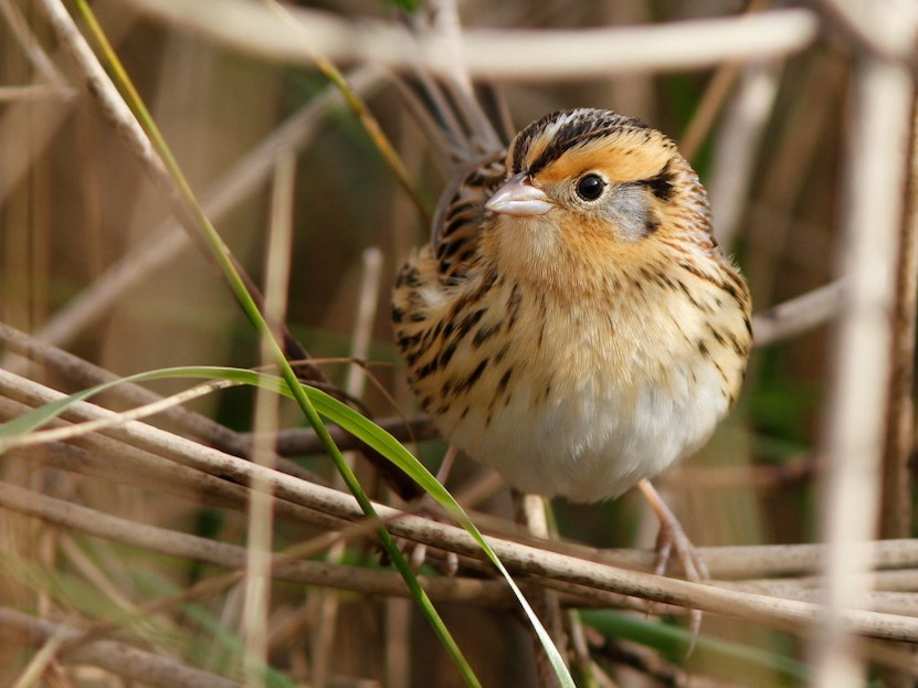 LeConte's Sparrow - Doug Hitchcox