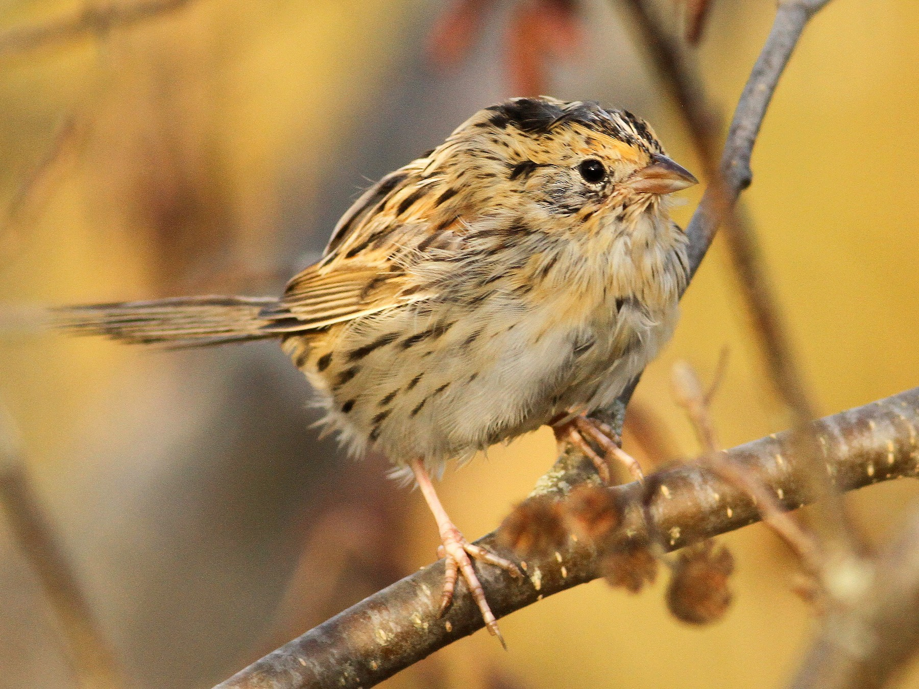 LeConte's Sparrow - Luke Seitz