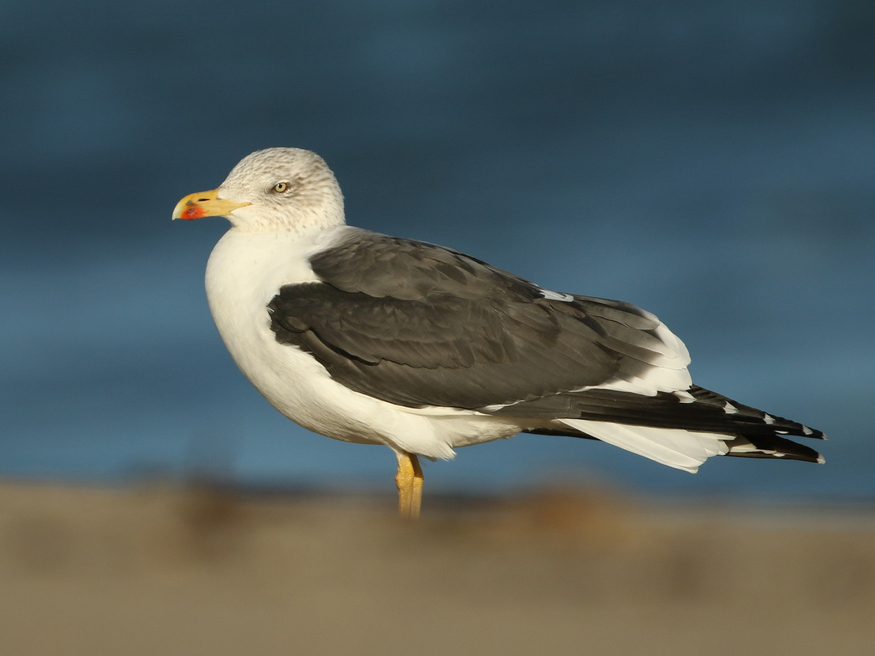 Lesser Black-backed Gull - Luke Seitz