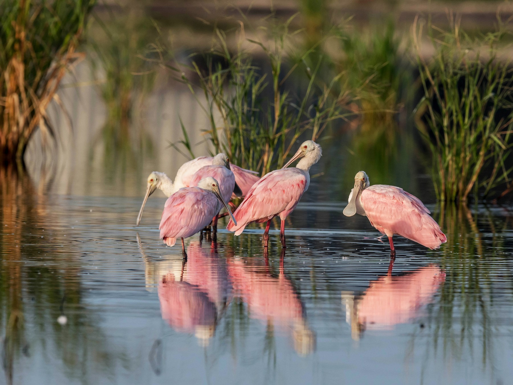 Roseate Spoonbill - David Hall