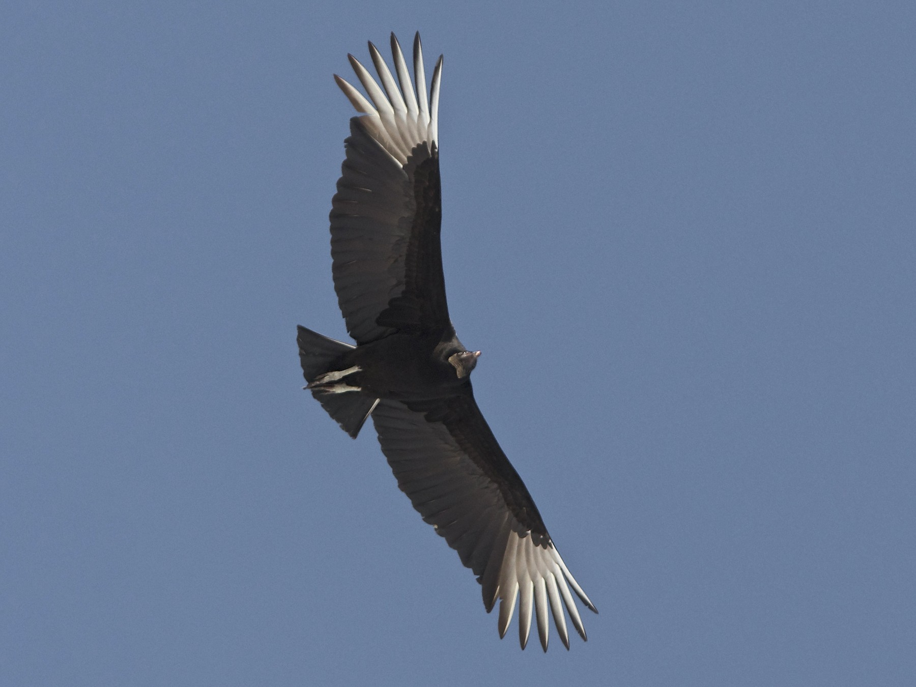 Black Vulture - Holly Merker