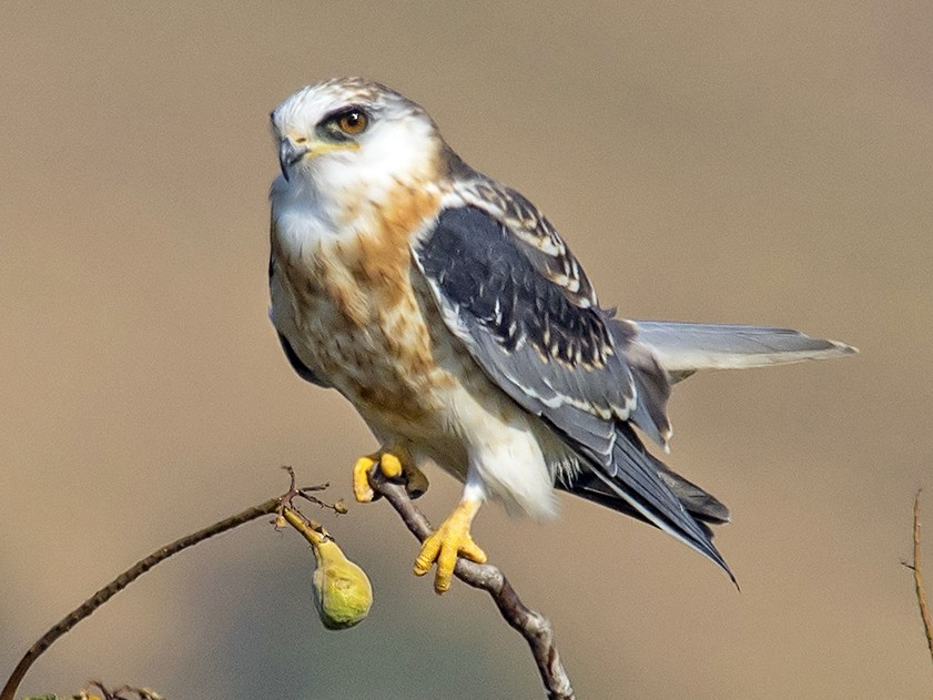 White-tailed Kite - Jerry Ting