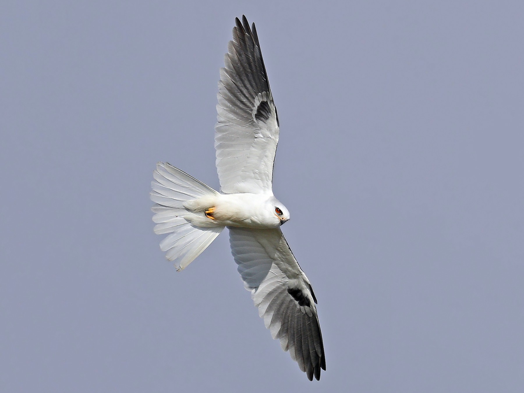 White-tailed Kite - Matt Davis