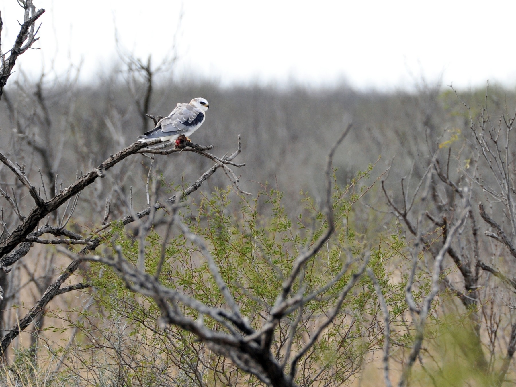 White-tailed Kite - Bryan Calk