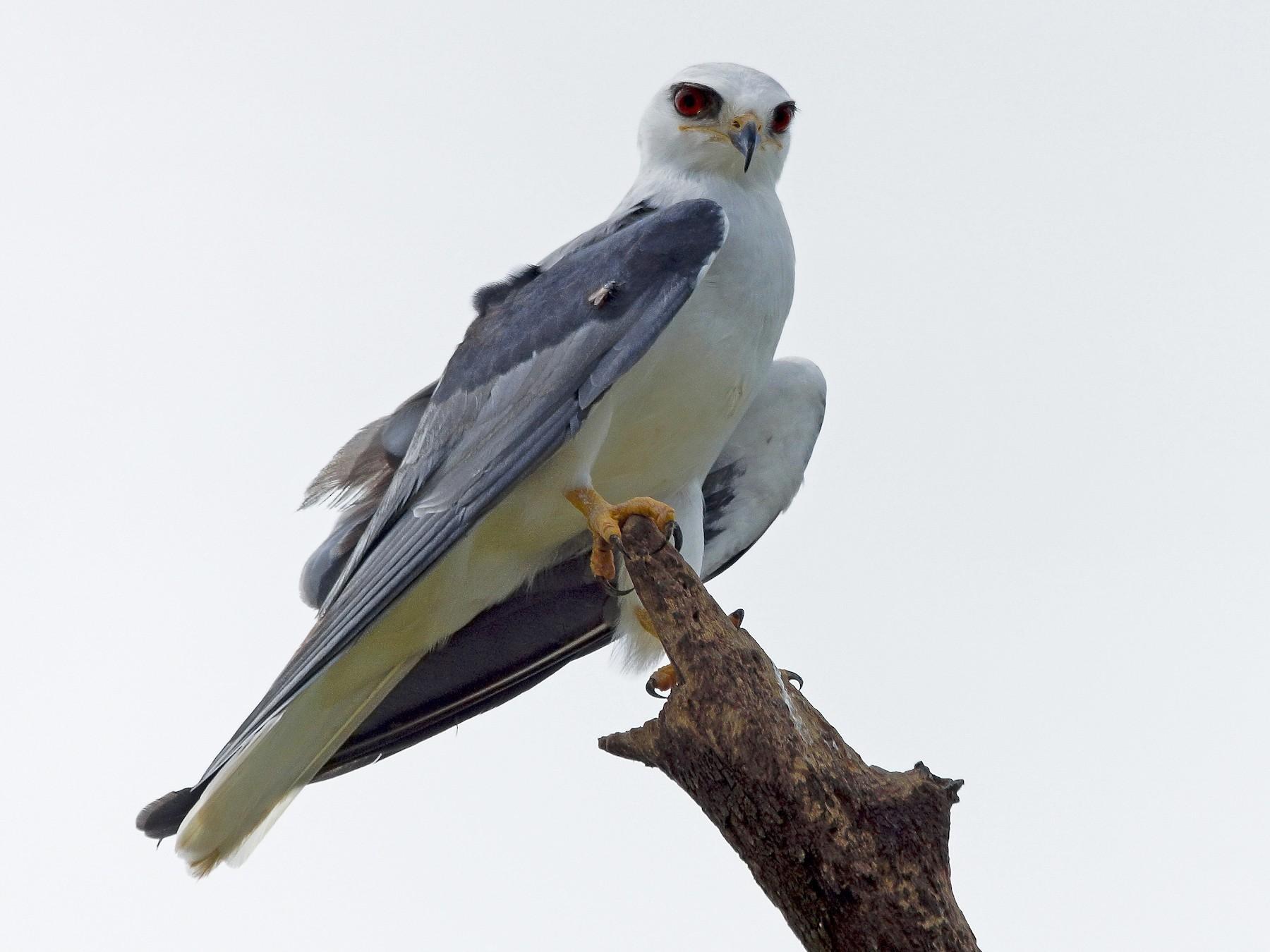 White-tailed Kite - Carlos Echeverría