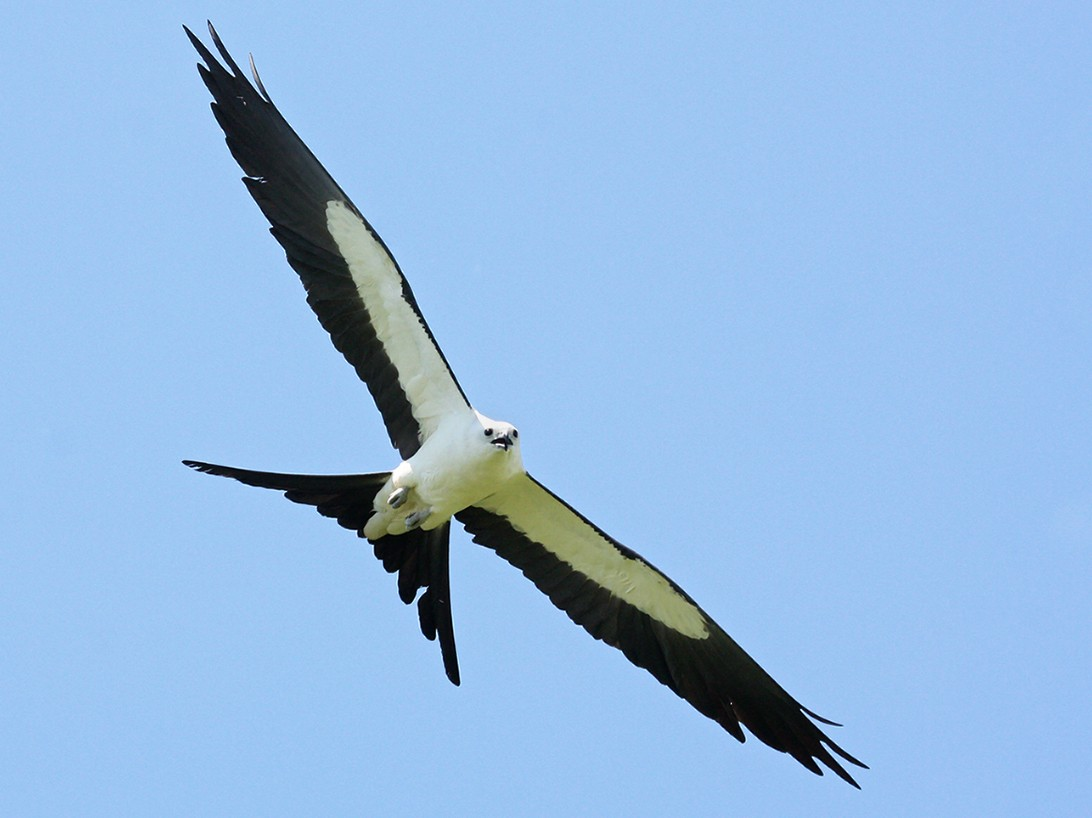 Swallow-tailed Kite - Paul Hueber