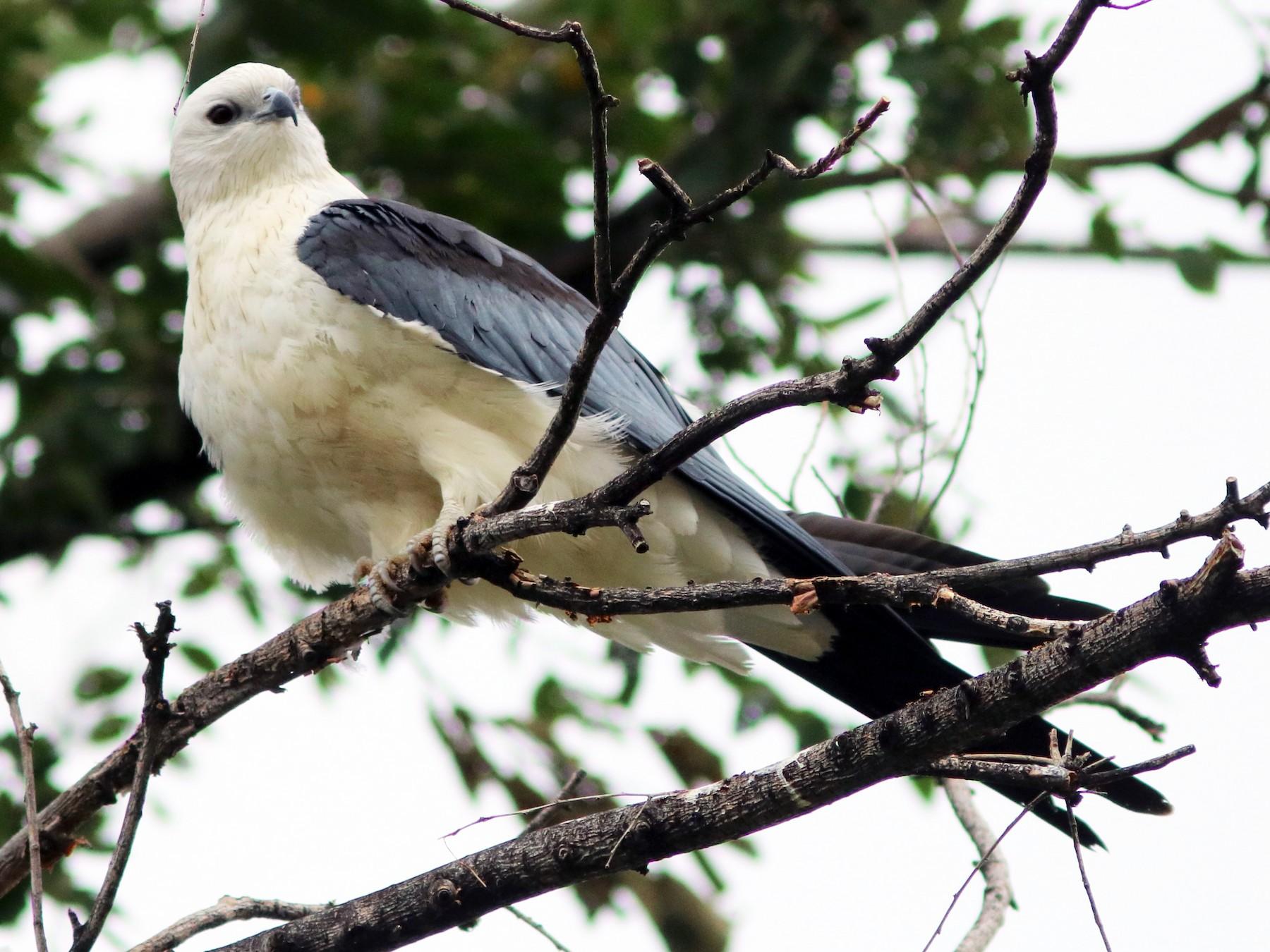 Swallow-tailed Kite - John Drummond