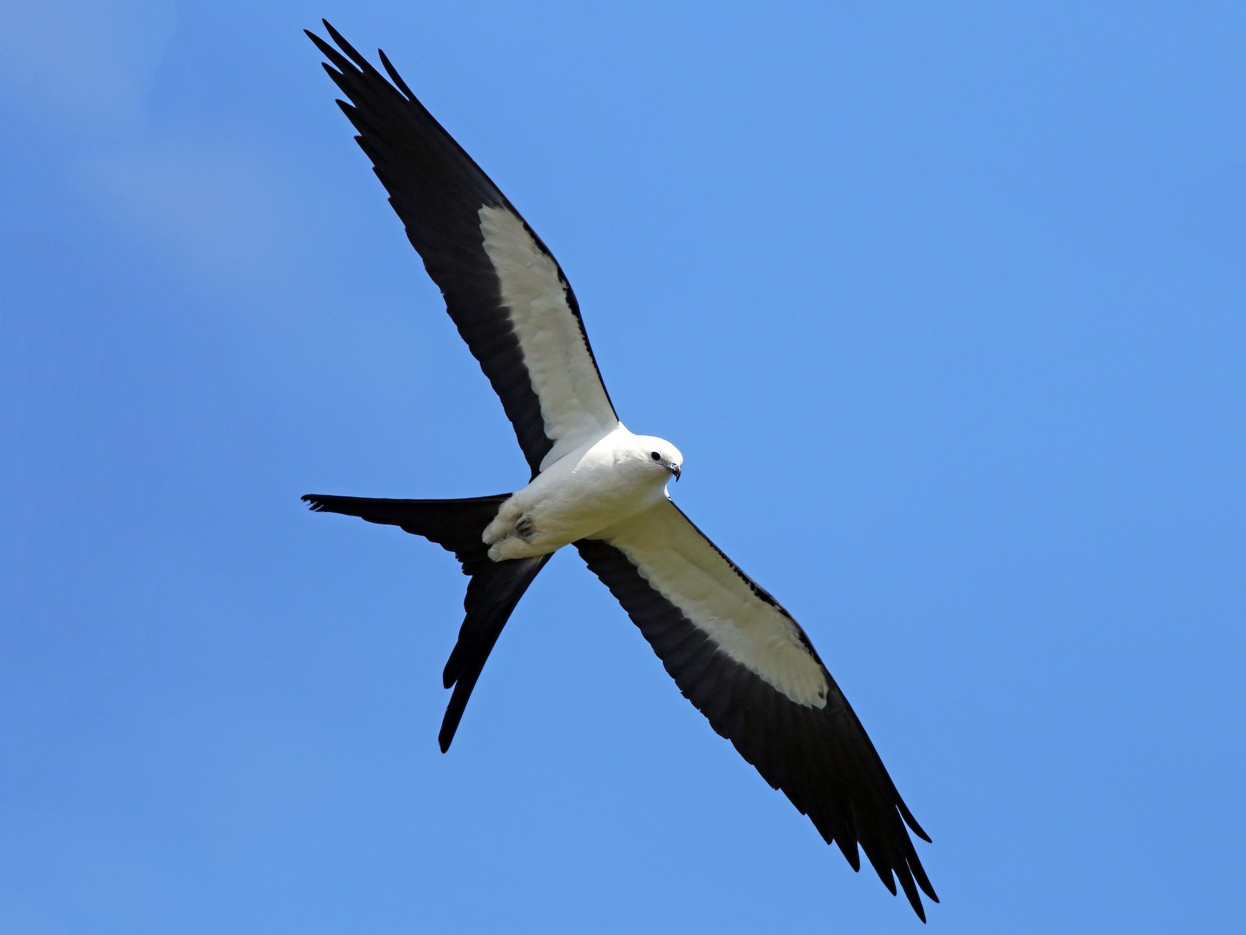 Swallow-tailed Kite - Luke Seitz