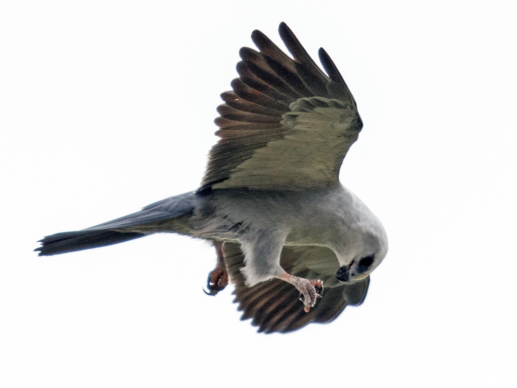 Mississippi Kite - Marlo Casabar