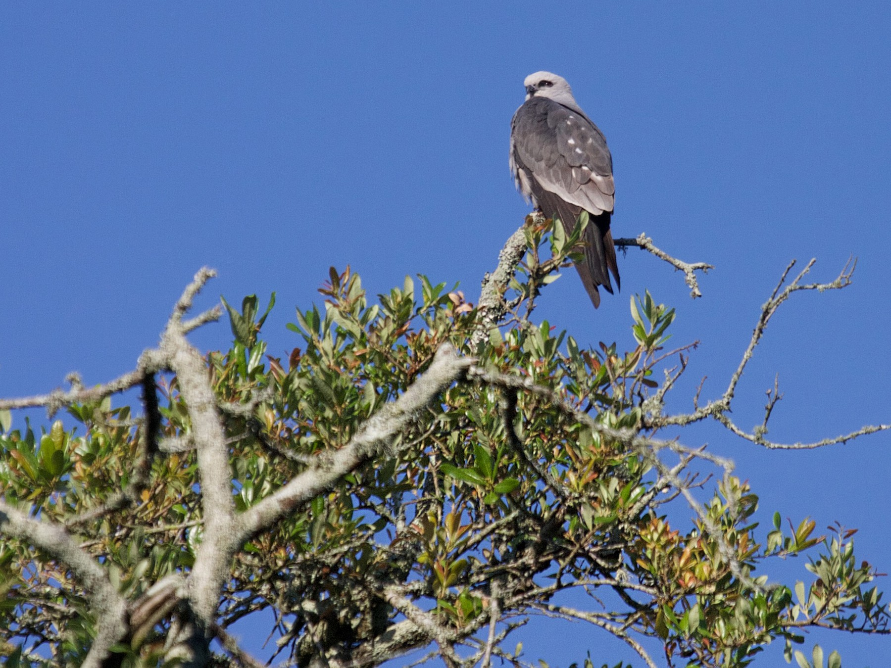 Mississippi Kite - Matt Brady