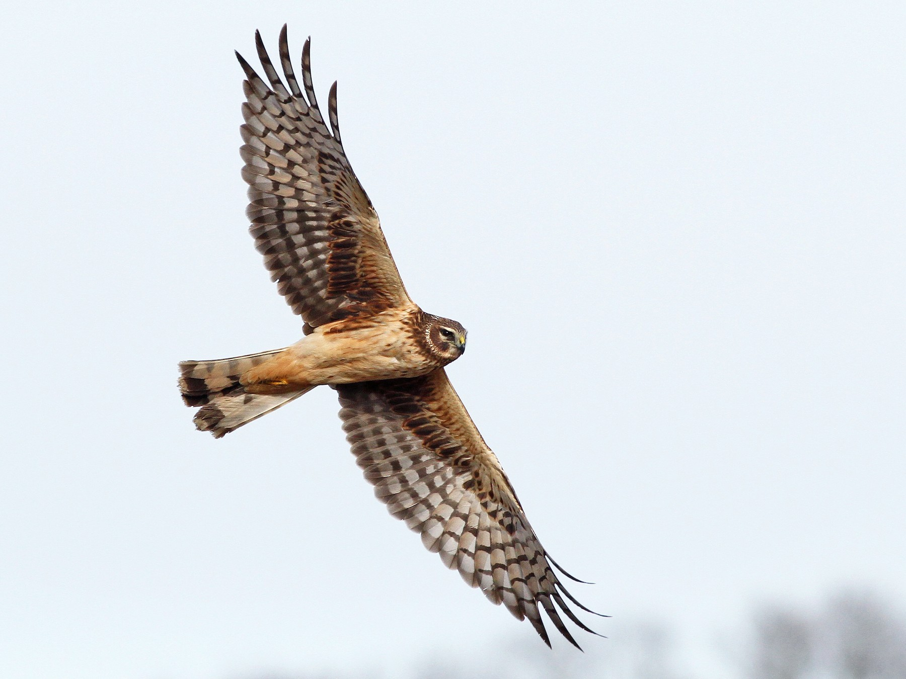 Northern Harrier - Evan Lipton