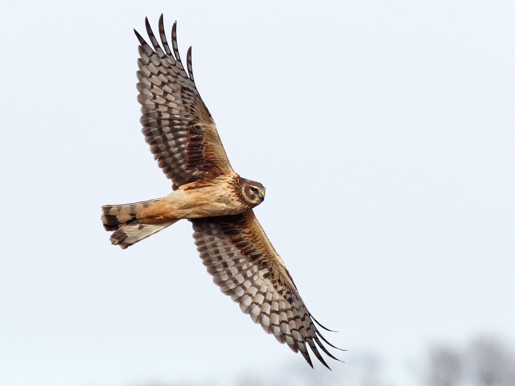 Northern Harrier - eBird
