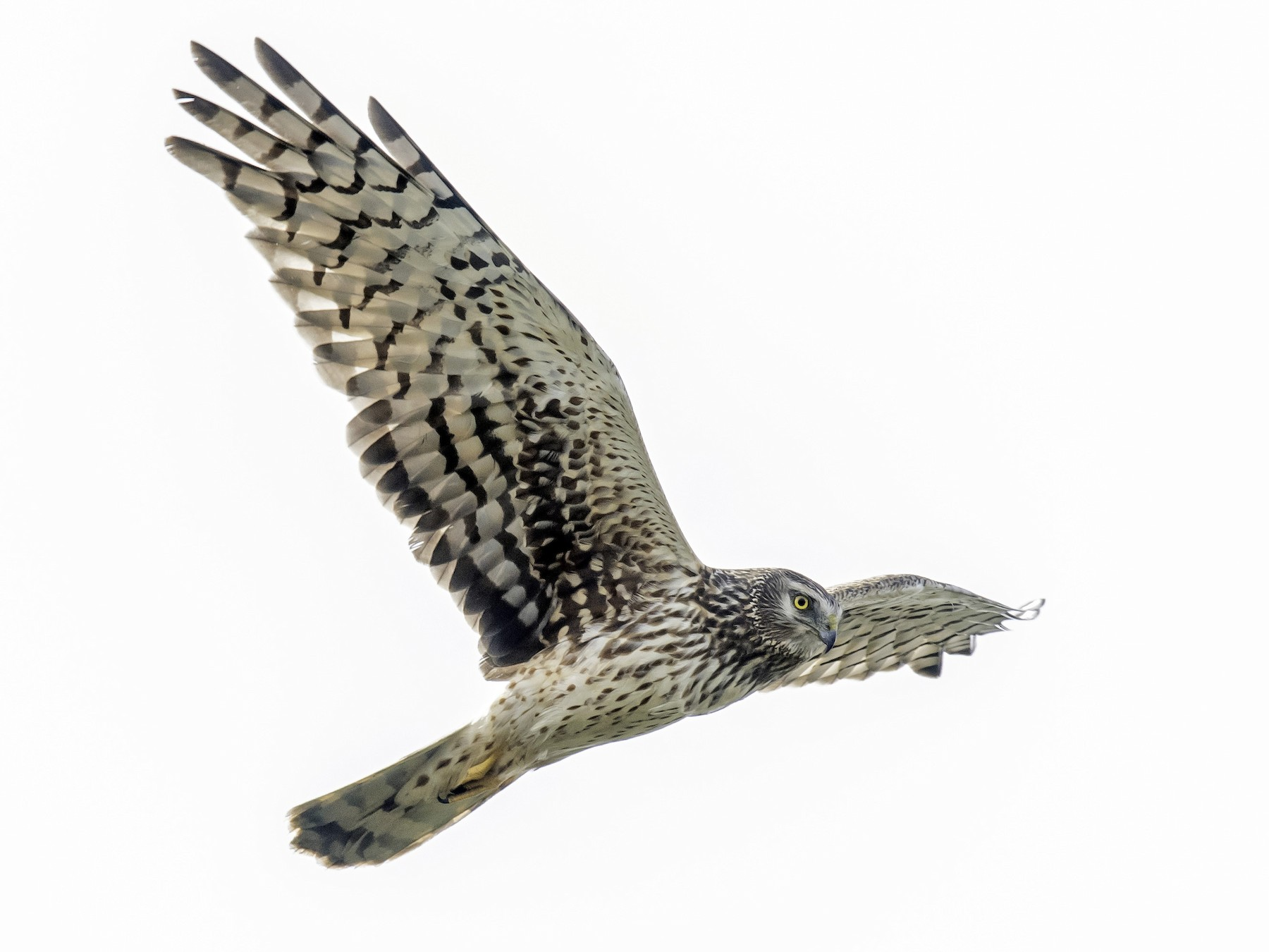 Northern Harrier - David Hall