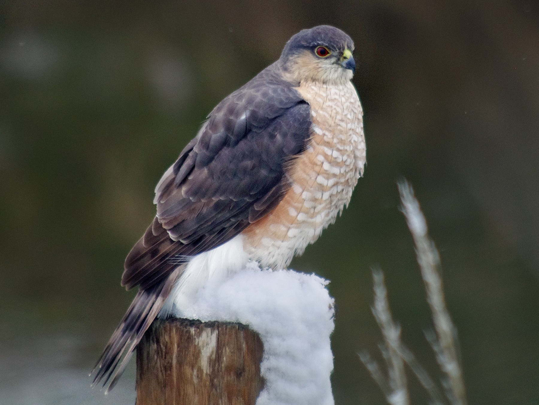 Sharp-shinned Hawk - robert beauchamp