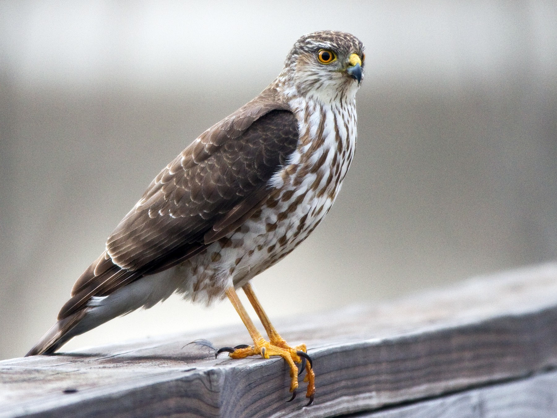 Sharp-shinned Hawk - Sue Barth