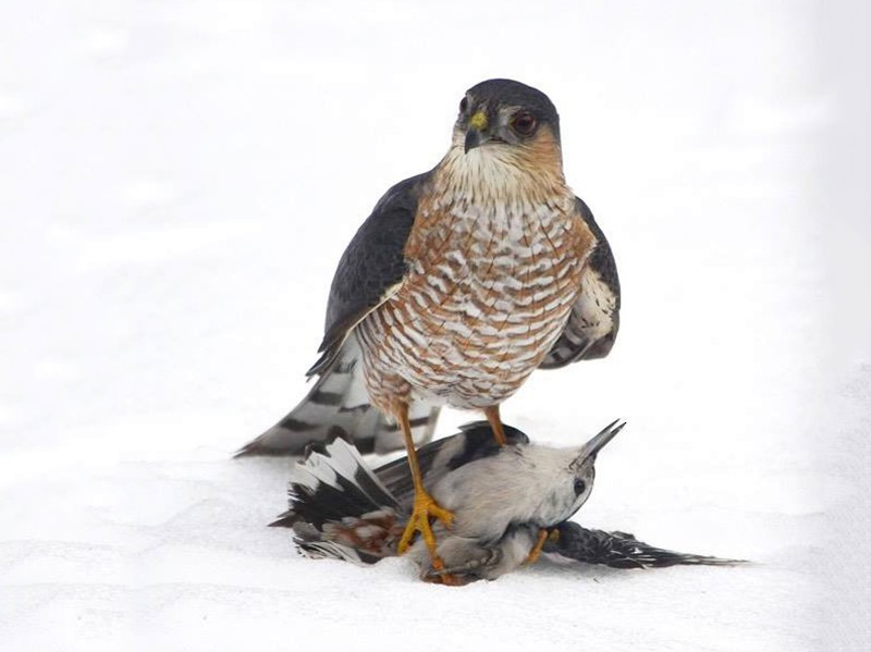 Sharp-shinned Hawk - S. Andujar