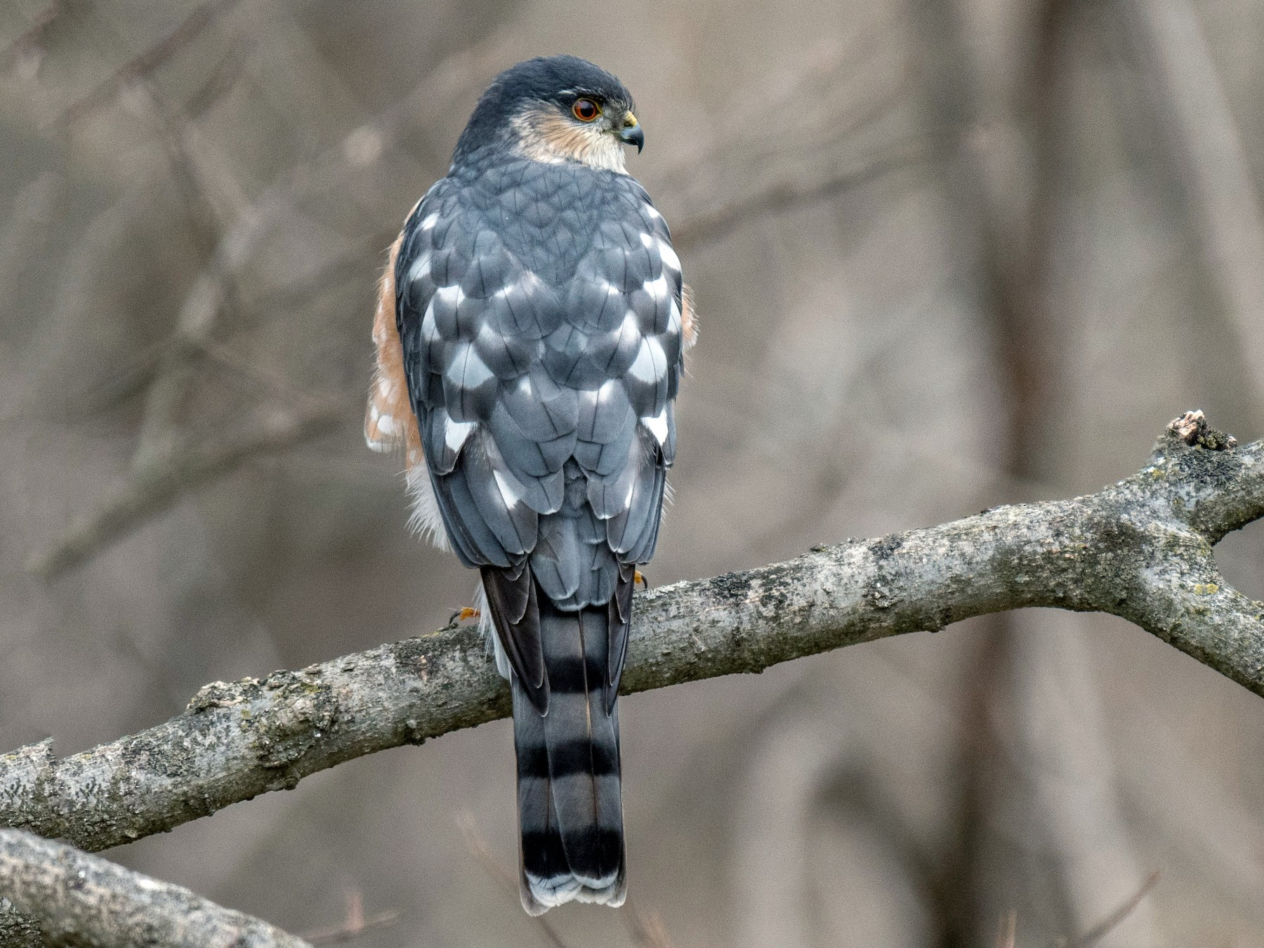 Sharp-shinned Hawk - Joe Bailey