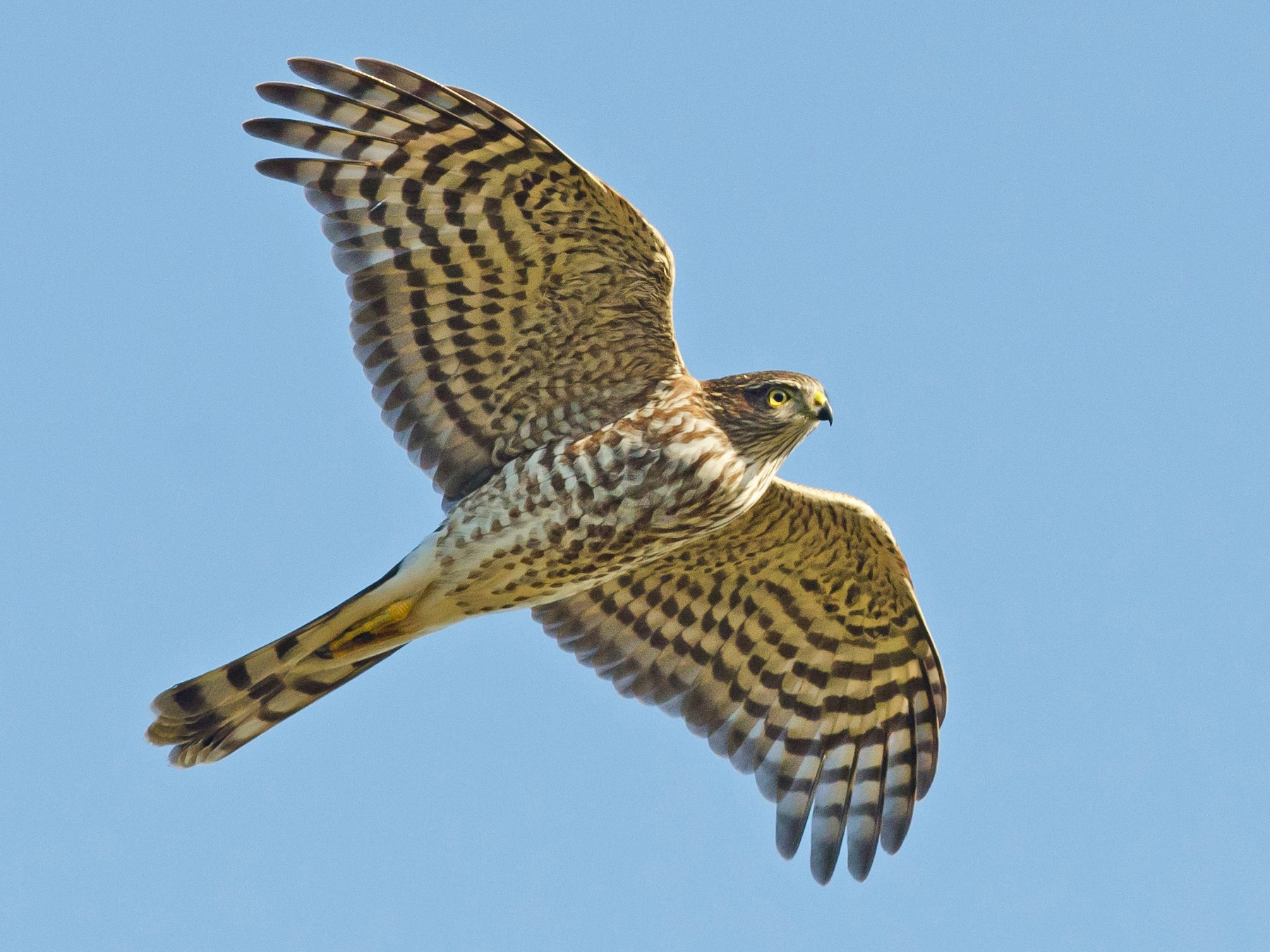 Sharp-shinned Hawk - Alix d'Entremont