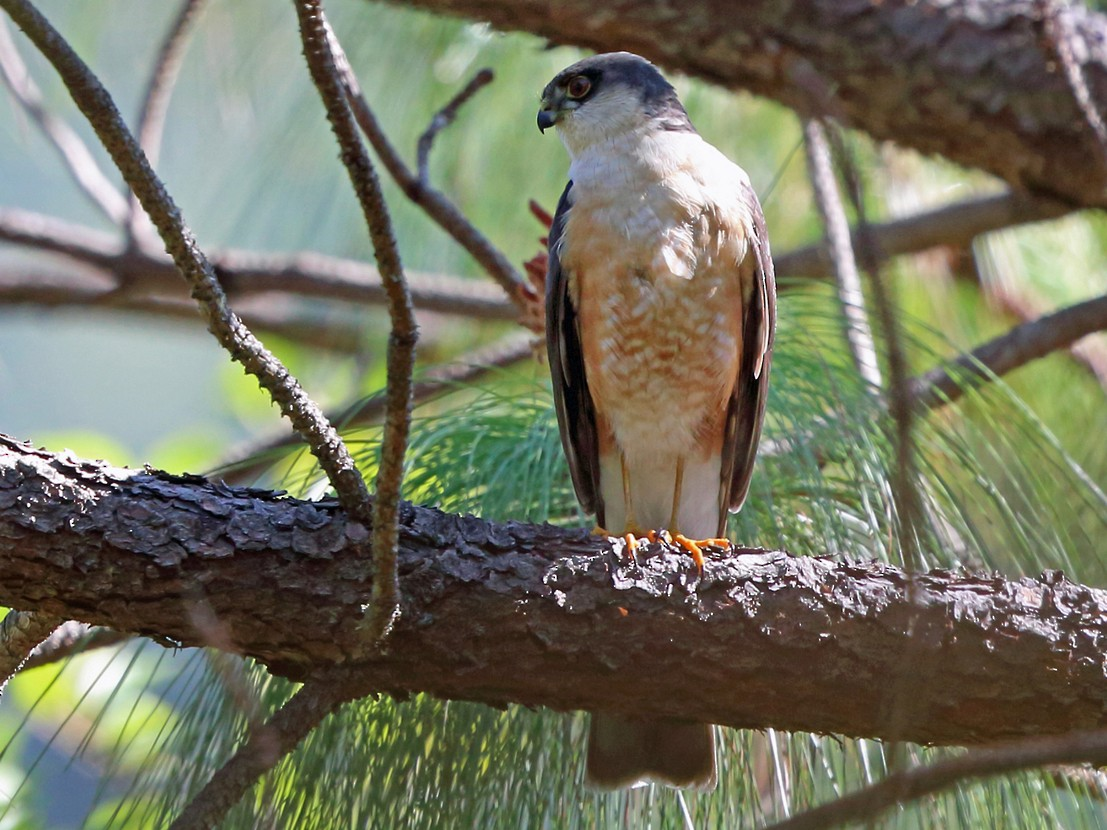 Sharp-shinned Hawk - Nigel Voaden