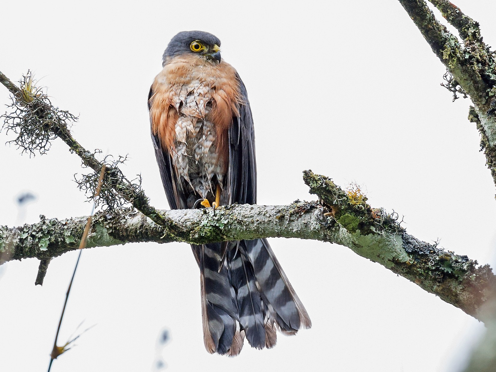 Sharp-shinned Hawk - Renato Espinosa