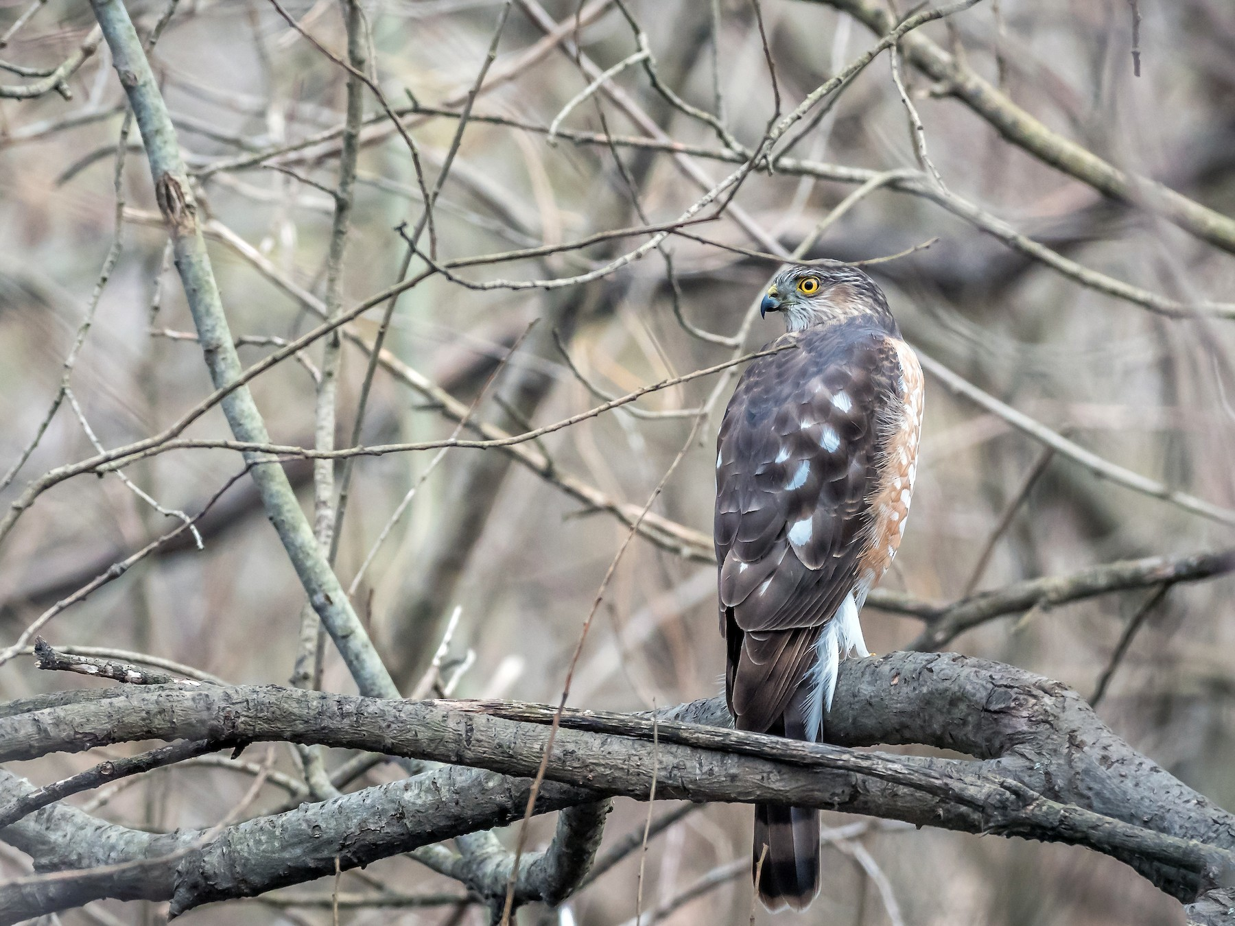 Sharp-shinned Hawk - Matthew Scharkopf