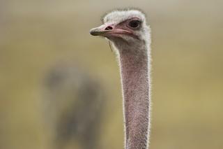 Common Ostrich, ML70781991