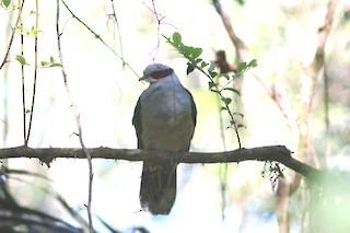 Red-eared Fruit-Dove