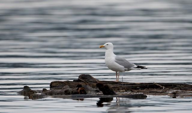 Herring Gull (American)
