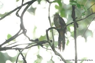 - Dusky Long-tailed Cuckoo