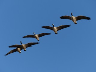 Canada Goose, ML70849891