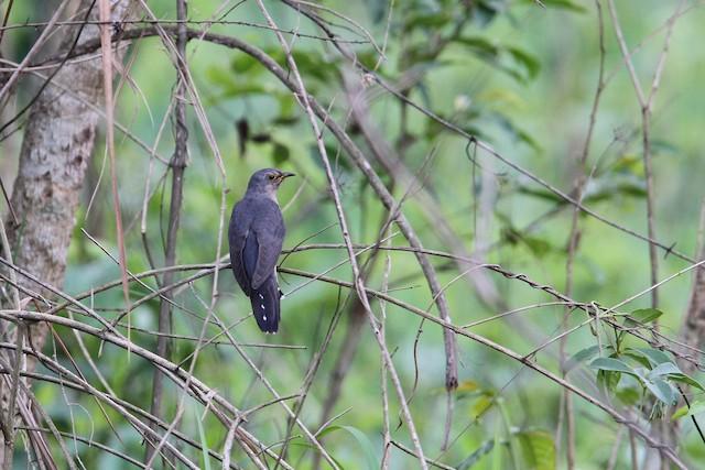 Lesser Cuckoo