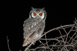 - Southern White-faced Owl