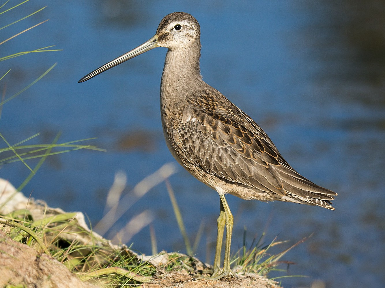 Long-billed Dowitcher - David Turgeon