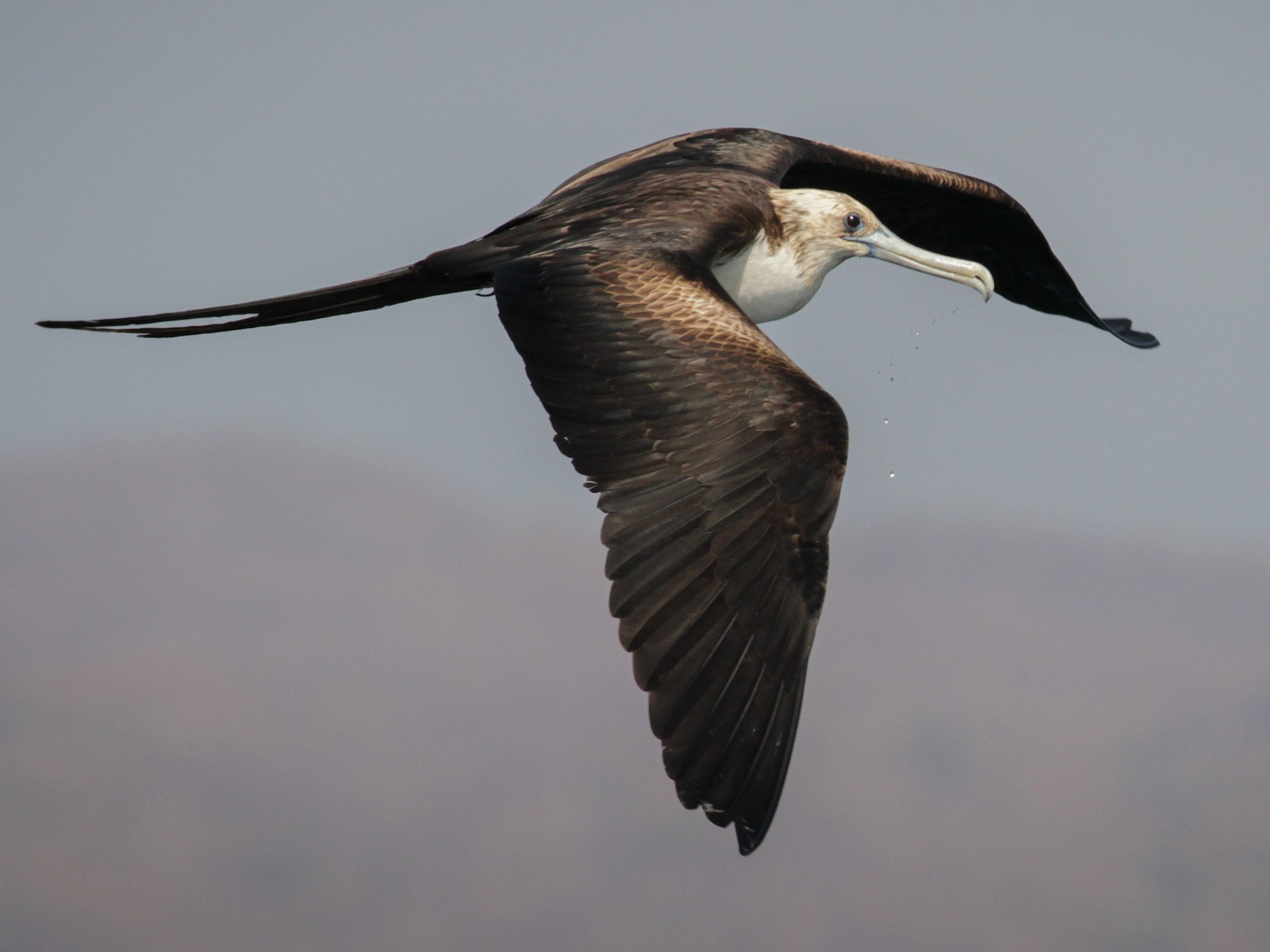 Magnificent Frigatebird - Ian Davies