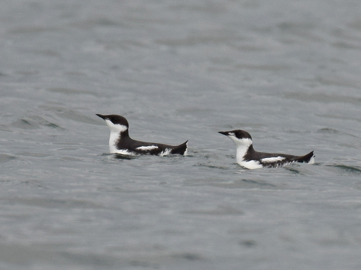 Marbled Murrelet - Ryan O'Donnell