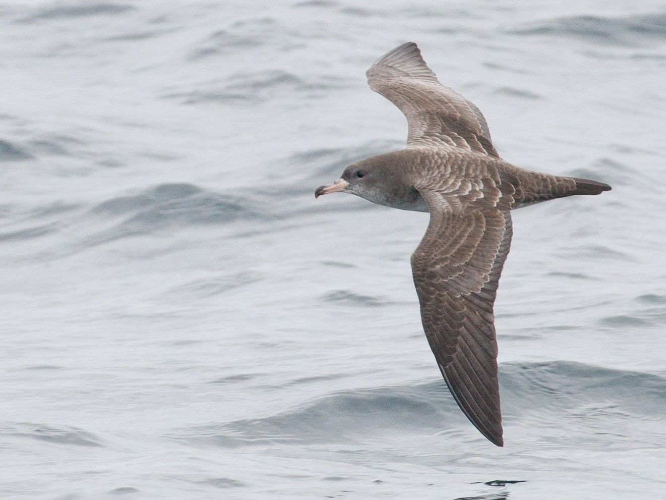 Pink-footed Shearwater - Chris Wood