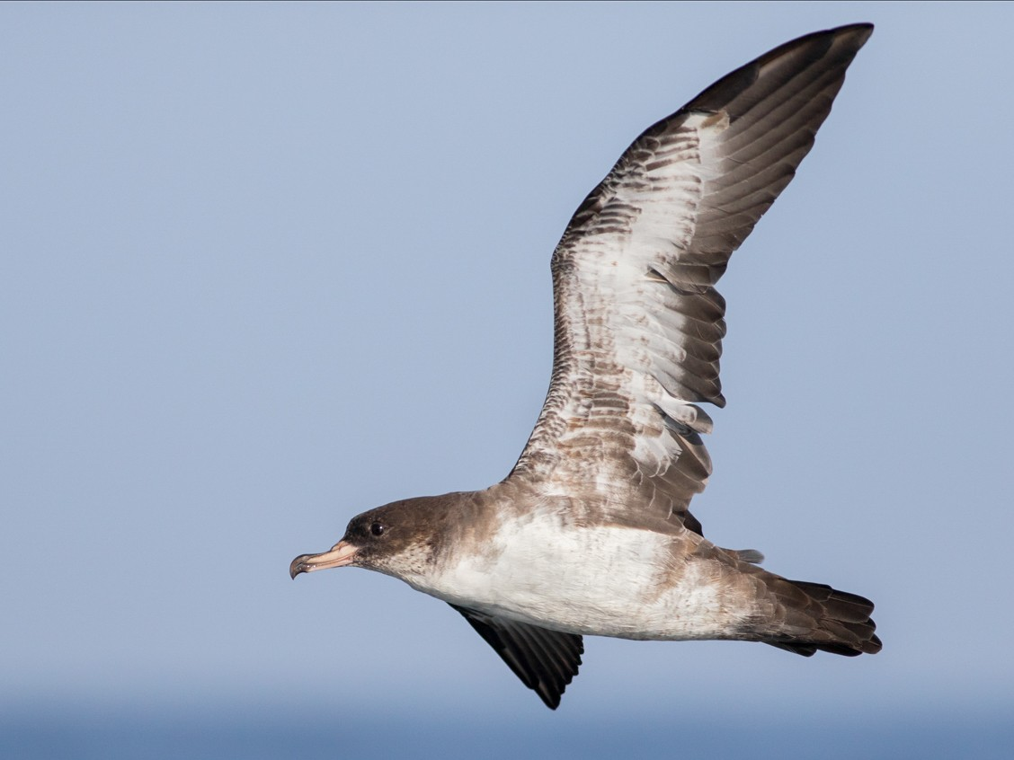 Pink-footed Shearwater - Liron Gertsman