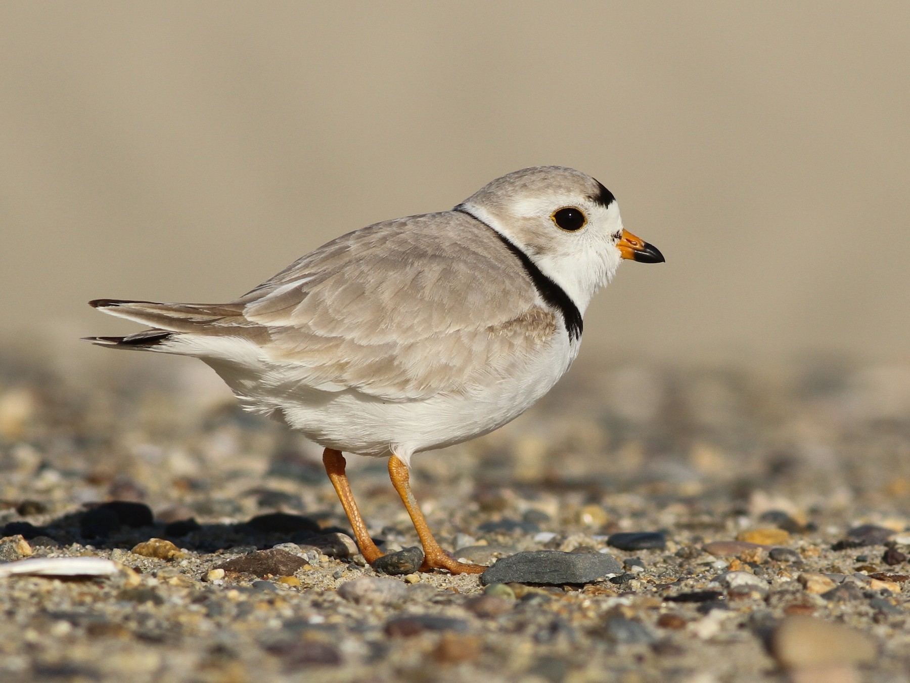 Piping Plover - Evan Lipton