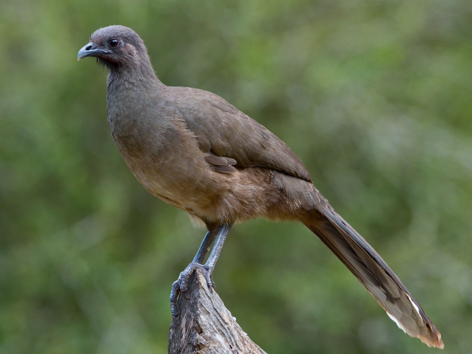 Plain Chachalaca - Nathaniel Sharp