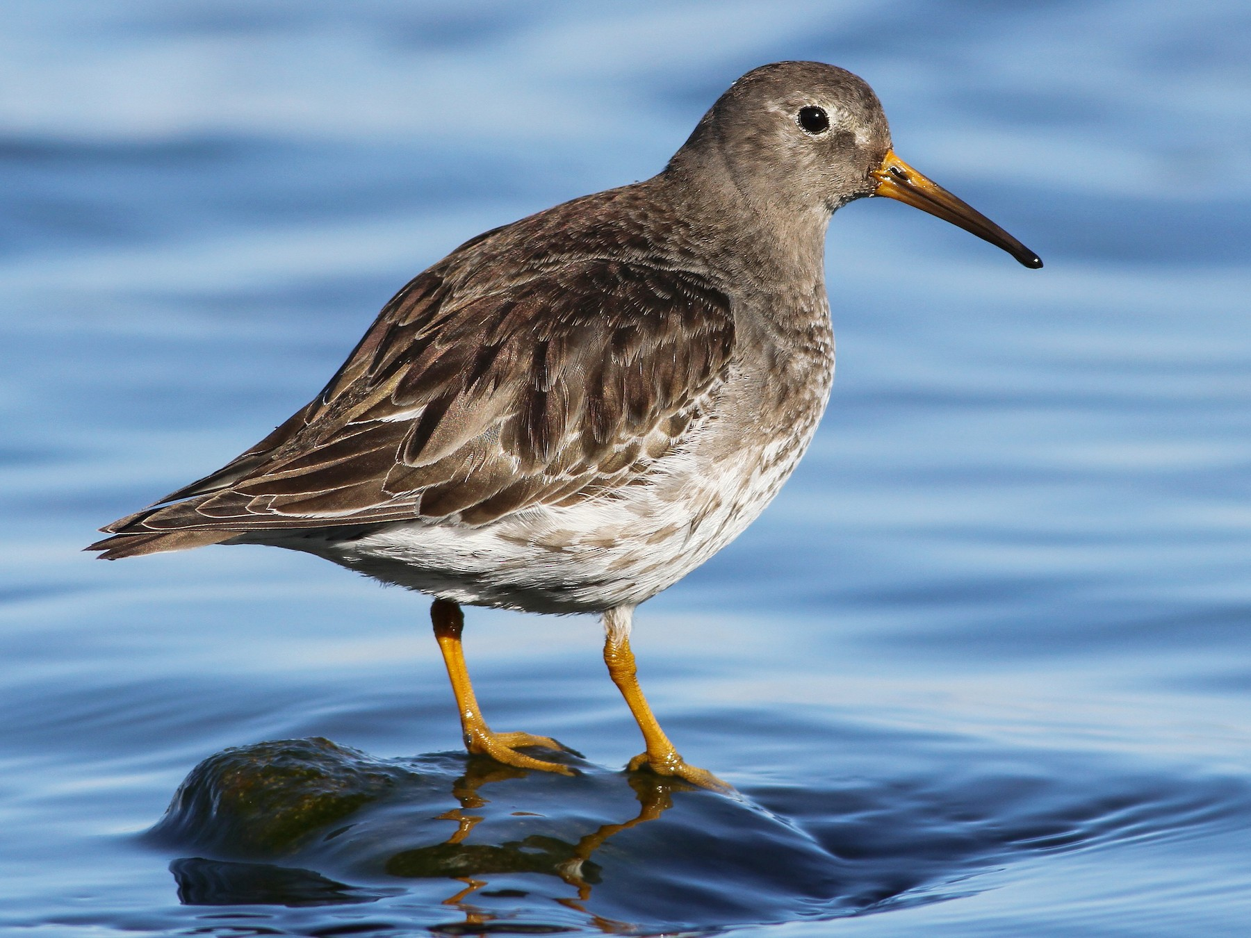 Purple Sandpiper - Evan Lipton