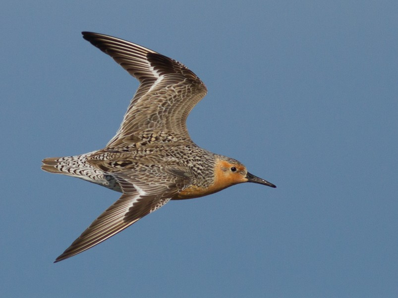 Red Knot - Tom Johnson