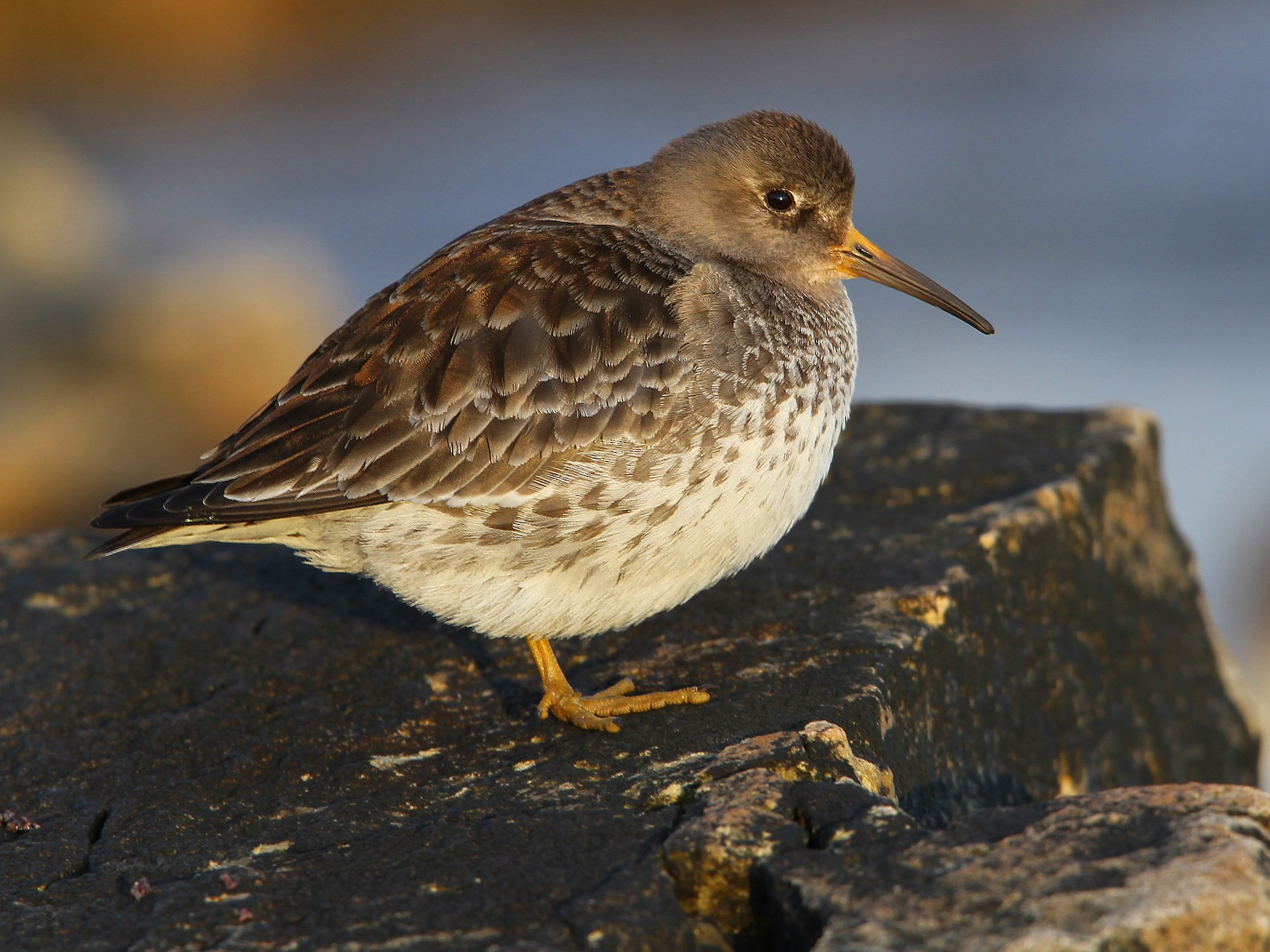 Purple Sandpiper - Christoph Moning